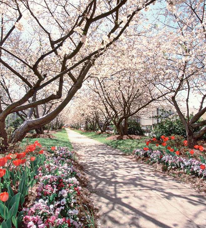 If You Want To See Cherry Blossoms In Georgia Check Out Macon