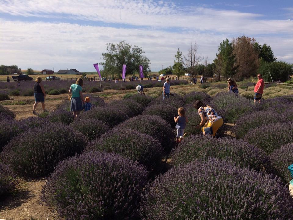 Get Lost In This Beautiful 11 Acre Lavender Farm In Idaho
