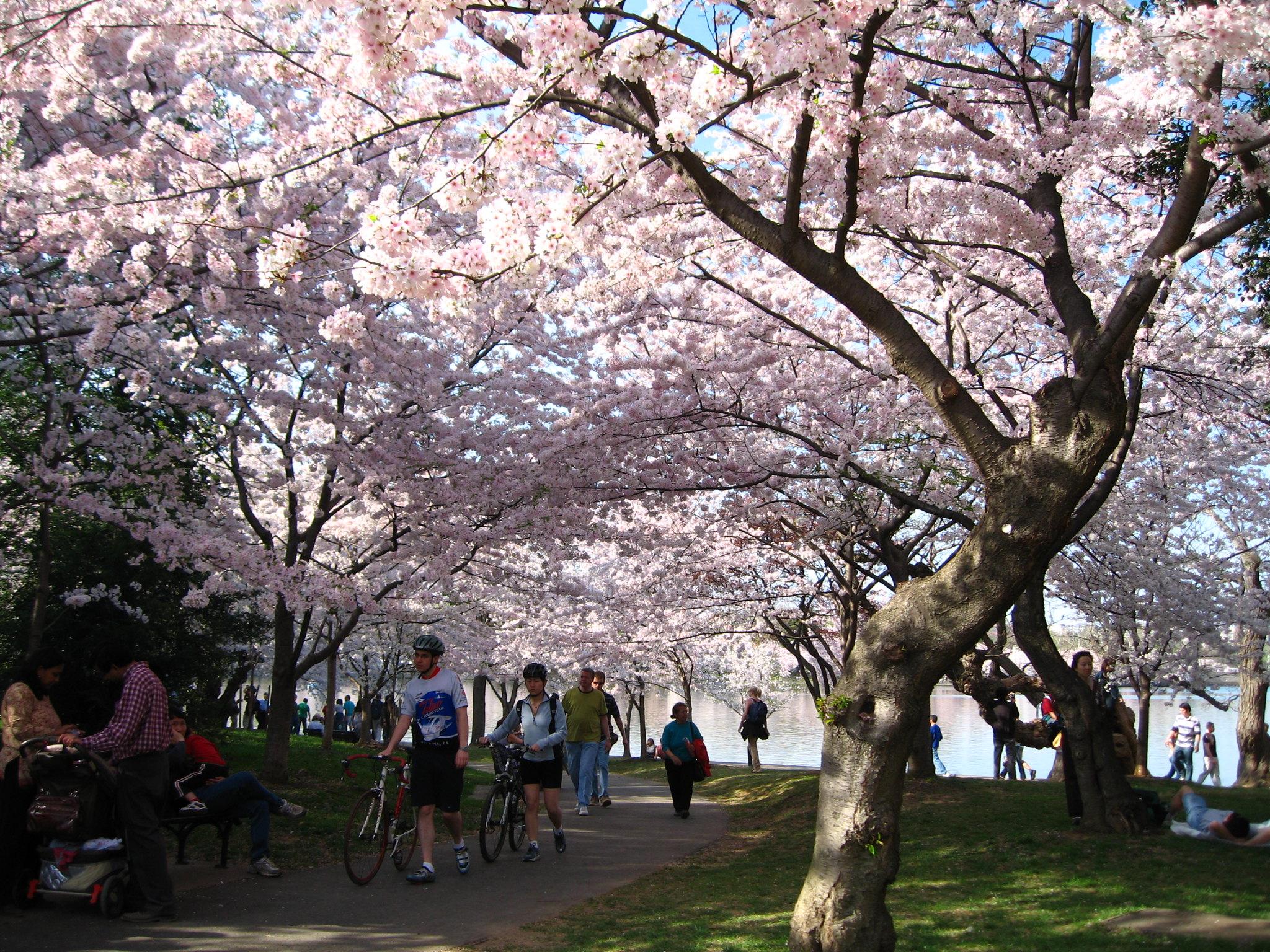 Enjoy The International Cherry Blossom Festival In Georgia This Spring