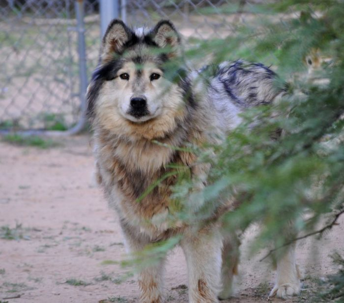 Not Many People Know About Eagle Tail Mountain Wolf Sanctuary Right Here In Arizona